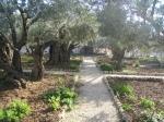 Maslini in Gradina Ghetsemani